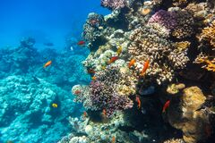 Free School Of Anthias Fish Swallowtail Seaperch Near Coral Reef In Red Sea, Egypt. Beautiful Underwater Diversity, Flock Of Fish Royalty Free Stock Images - 179039409
