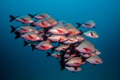 Free School Of Humpback Snapper Fish Swimming In Open Water Together. Stock Images - 101329024