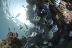 Free School Of Sergeant Major Fish Royalty Free Stock Photo - 16525475