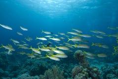 Free School Of Tropical Fish Stock Photos - 12451453