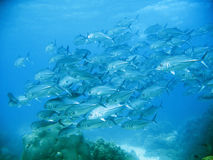 School Of Tuna Royalty Free Stock Images