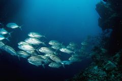 School Of Tuna Stock Photography
