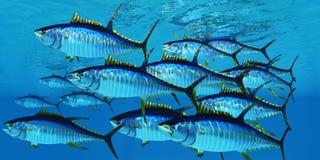 Free School Of Yellowfin Tuna Stock Image - 156432171