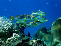 School of Oriental Sweetlips or Gruntfish Royalty Free Stock Photography