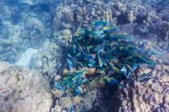 School of parrotfish Stock Image