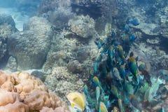 School of parrotfish Stock Photos