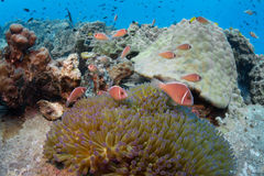 School of pink anemonefish Amphiprion perideraion in an anemon royalty free stock photo