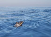 Small school / pod of common bottle nose dolphins in the Pacific ocean between Santa Barbara and Channel Islands in California USA. Small school / pod of common royalty free stock photo