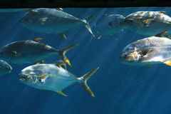 School of pompano fish. A large school of pompano in the water Stock Image