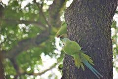 School of poppi Indian Ringneck Parakeets stock image