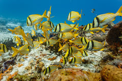 School of Porkfish, Anisotremus virginicus, swimming on coral reef in Caribbean stock photo