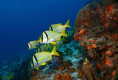 School of Porkfish on a Coral Reef. School of Porkfish (Anisotremus virginicus) swimming over a coral reef - Cozumel, Mexico Royalty Free Stock Photos