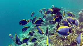 A school of Powderblue surgeon fishes at a beautiful coral reef stock video
