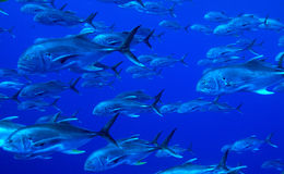 School of predator fishes Stock Photo