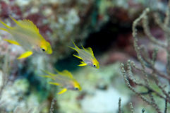 School of pretty smalls yellow coral fishes Royalty Free Stock Photography
