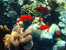 School of red anthias. A school of red anthias with male and female fishes Royalty Free Stock Image