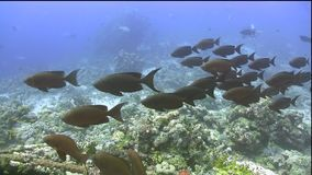 School of Red bigeye Priacanthus macracanthus under the coral in Red sea. Sudan stock video