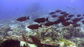 School of Red bigeye in red sea Sudan stock video