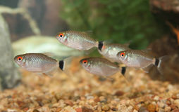 School of Red Eye Tetra fish. Royalty Free Stock Photo
