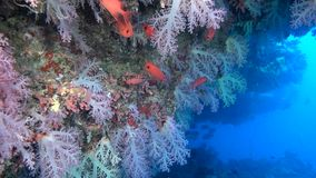 School of red fish on background colorful corals underwater in sea of Maldives. stock footage