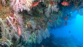 School of red fish on background colorful corals underwater in sea of Maldives. stock video