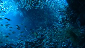 School of Red sea fish. In deep cave blue water, Red sea, Egypt. Full HD underwater footage stock video footage