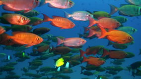 School of red tropical fish swim on reef in sea. A flock school of tropical fish on the reef in search of food. Amazing, beautiful underwater marine life world stock video footage