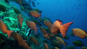 School of red tropical fish swim on reef in sea. stock video