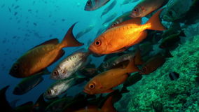 School of red tropical fish swim on reef in sea. A flock school of tropical fish on the reef in search of food. Amazing, beautiful underwater marine life world stock footage