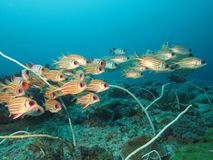 School of redcoats. Also know as red striped squirrelfish, (Sargocentron rubrum) swimming above reef royalty free stock images