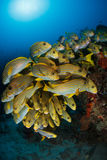 School of ribboned sweetlips fish at Cape Kri. Stock Photography