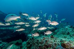 Russell`s snapper Lutjanus russellii fish Stock Photography