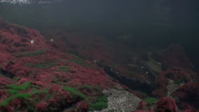School of salmon fish swim to spawn underwater in ocean of Alaska. stock footage