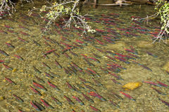 School of Salmon Spawning Stock Photography