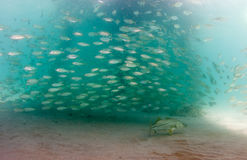 A school of Scad fish under a pier Royalty Free Stock Images