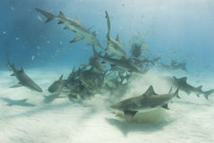 School of Scavenging Lemon Sharks Royalty Free Stock Photo