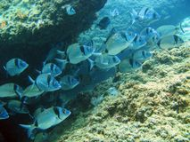 School of sea bream in the rock Stock Image