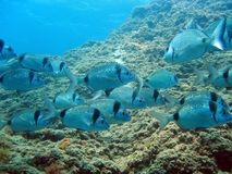 School of sea bream swimming Stock Photos
