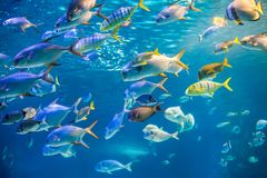 School of sea  fish are swimming to underwater surface Royalty Free Stock Photo