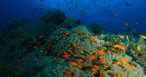 School of sea goldie fish swim inside the coral garden in a dram Stock Image