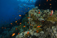 School of sea goldie fish swim over the coral garden in Sharks r Royalty Free Stock Image