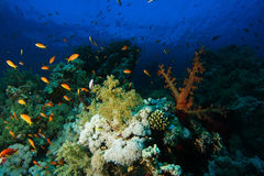 School of sea goldie fish swim over the hard and soft corals in Stock Images