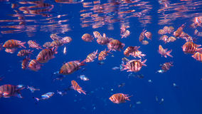 School of Sergeant Fish. In the Red Sea, Egypt royalty free stock images