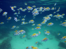 School of sergeant-major fish. Snorkeling in the Caribbean sea with a shoal of Sergeant Major fish royalty free stock images