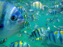 School of sergeant major fish Royalty Free Stock Photos