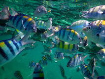 School of sergeant major tropical fish Stock Photo