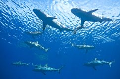 School of Sharks. A school of nine reef sharks swimming together underwater Stock Images