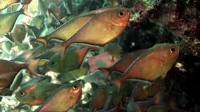 School of shiny fish Cave Sweeper Pempheris Vanicolensis underwater Red sea. Relax video about Pempheridae in marine nature of Egypt stock video footage