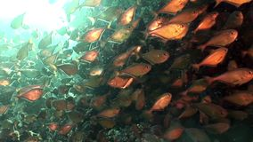School of shiny fish Cave Sweeper Pempheris Vanicolensis underwater Red sea. Relax video about Pempheridae in marine nature of Egypt stock video