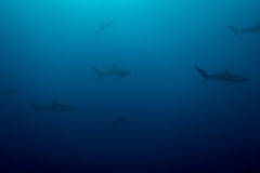 School of silky sharks royalty free stock image